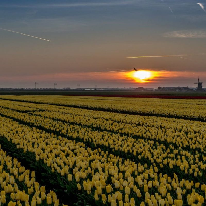 Tulpenveld Strong Gold